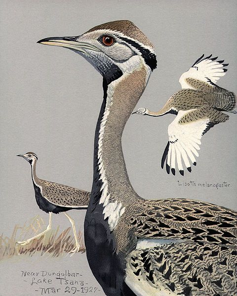 Black-bellied Bustard, Black-bellied Korhaan by Louis A. Fuertes (1927) - Album of Abyssinian Birds and Mammals