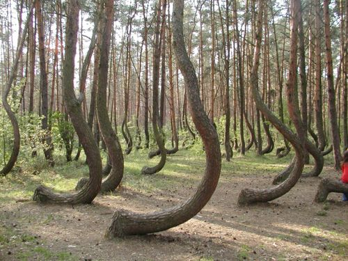 PolandNature, Crooks Forests, Beautiful, Trees Growing, Curves Trees, Travel, Places, Pine Trees, Poland