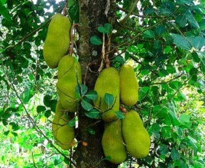Jackfruit (langka/nangka) = Philippine Fruits - Page 2