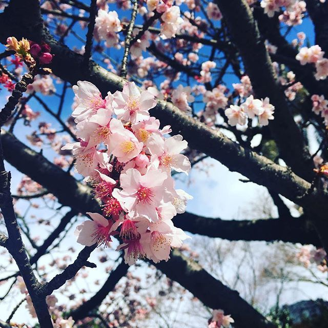 【mizusmily】さんのInstagramをピンしています。 《#熱海 の#日帰り旅行 🙆🏻 この前にずっと熱海に行きたくて、 昨日ニュースを見たら、今年の #あたみ桜 が平年より早咲き さっそく乗り換えを調べて、朝いつもより早起きして(普段 #寝坊 してるのに笑) 電車で三時間くらい乗って、やっと着いた😭 可愛くて写真いっぱい撮った ちなみに#桜 🌸初めて見た💓 古い街にぶらぶらして、#温泉まんじゅう も食べた 大満足☺️今度温泉に入ってみようー  #台湾人#日常生活#静岡#糸川#糸川桜まつり#旅行#一人旅#プチ旅行》