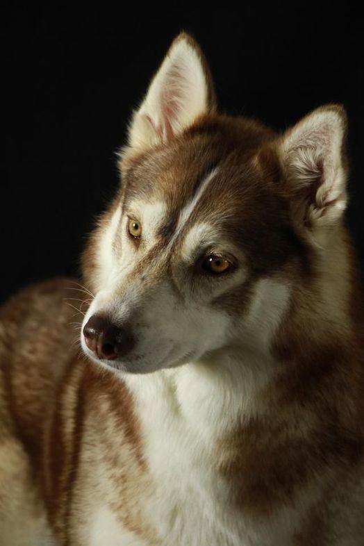 Dog - Siberian Husky - Talulla on www.yummypets.com