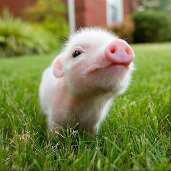 I want a miniture pig !