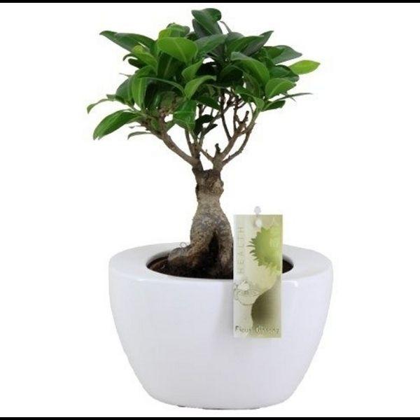 25+ beste ideeën over Ficus ginseng bonsai op Pinterest - Bonsai ...