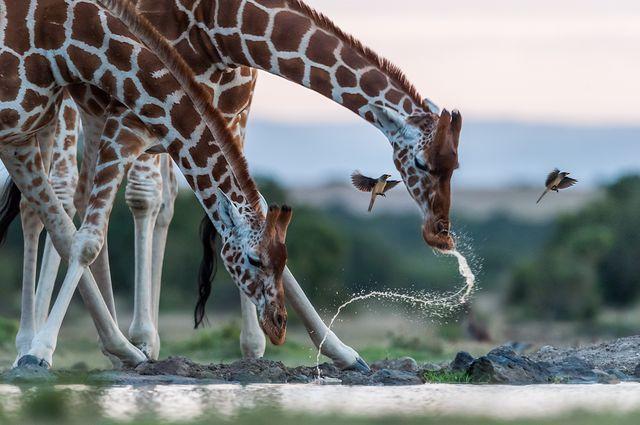 水を飲むキリンたち(ケニア)