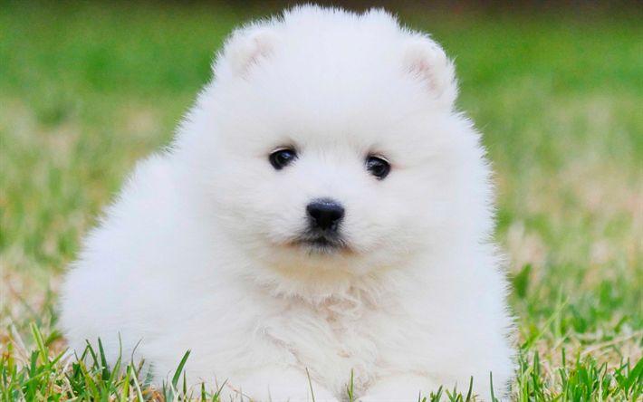 Lataa kuva Japanin Spitz, valkoinen pörröinen koira, pentu, vihreä ruoho, koriste koiria, pet kissat