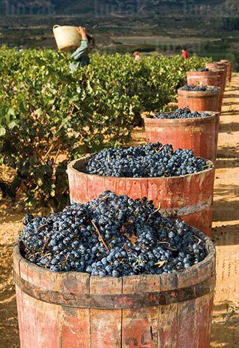 Spain - Vendimia. Comportas. Haro, La Rioja