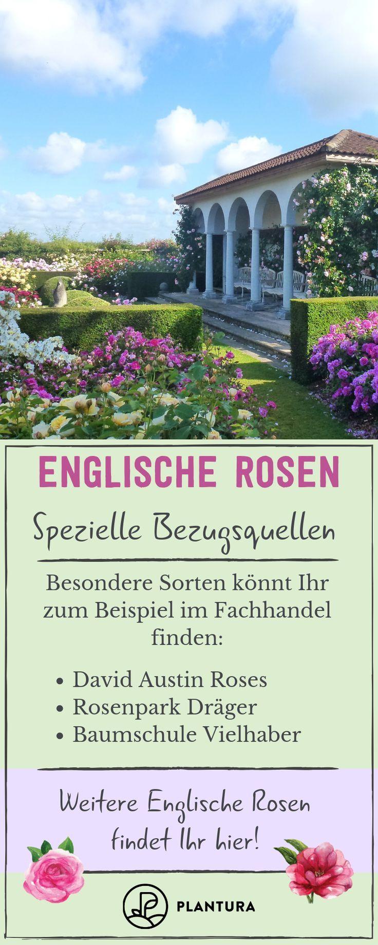 Englische Rosen Die 15 Beliebtesten Schonsten Sorten Beliebtesten Die Englische Rosen Schonsten Sorten In 2020 Rosensorten Garten Rosen