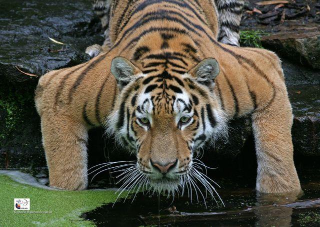 Neu im Angebot: Sibirischer Tiger als Scheibenauflage   Deutscher Bogensportverlag