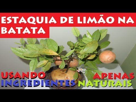COLOQUE A HASTE DE UMA ROSA EM UMA BATATA, O QUE ACONTECERÁ NO OUTRO DIA É INCRÍVEL. - YouTube