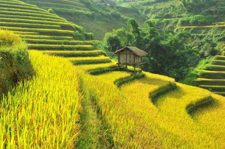 Golden terrace rice field in the morning sun.