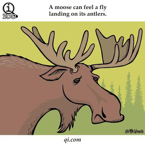 Losi cítí, že jim přistane moucha na parohu. Kromě toho slyší růst mech a jejich moč je halucinogenní. | 20 pikantních faktů ze života zvířat