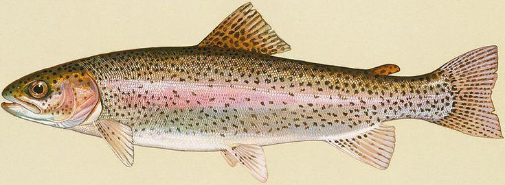 File:Rainbow Trout.jpg