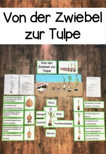 Von der Zwiebel zur Tulpe – Unterrichtsmaterial im Fach Sachunterricht