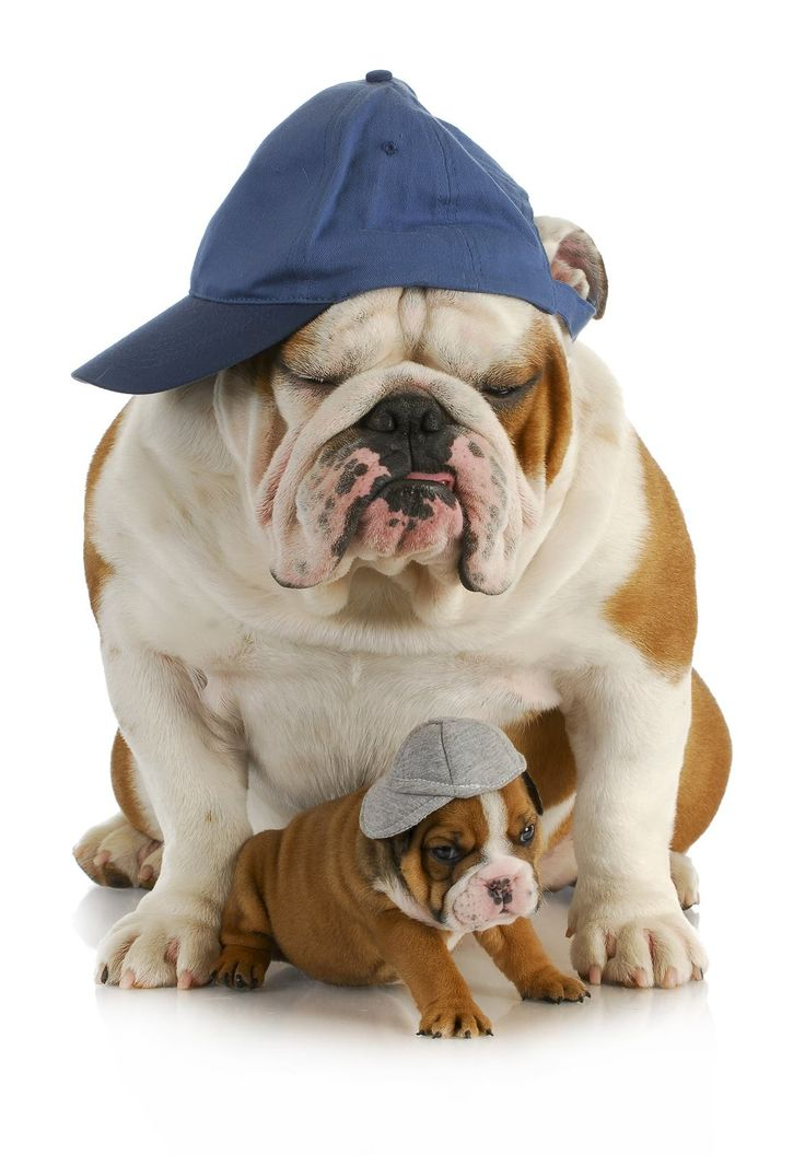 Sports watchers! #dogs #pets #EnglishBulldogs #puppies Facebook.com/sodoggonefunny