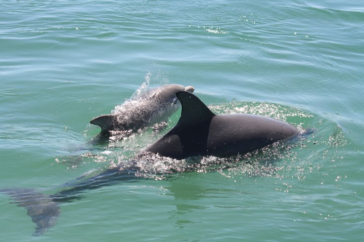 A great photo showing a beautiful little Mandurah baby dolphin only a couple of weeks old cruising with Mum.