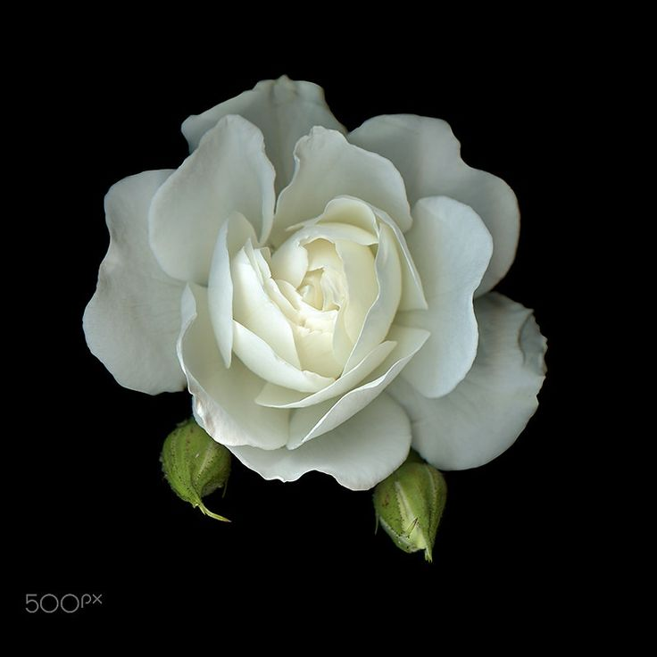 A SYMBOL of PEACE, WHITE ROSE... by Magda Indigo on 500px