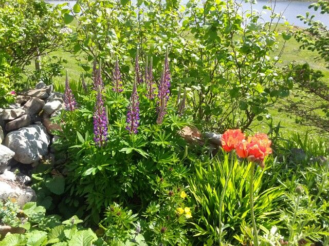 Lupins and poppies.