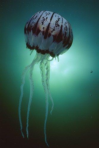(© David Doubilet/National Geographic)Medusa roxa na Baía de Monterey, na Califórnia.