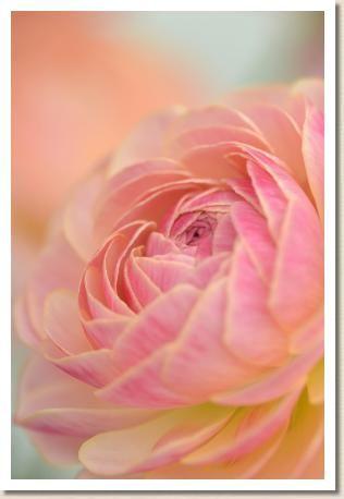 ラナンキュラナンキュラス タソス(RANUNCULUS Thasos)|花の手帖のwebラナンキュラス図鑑ラス タソス