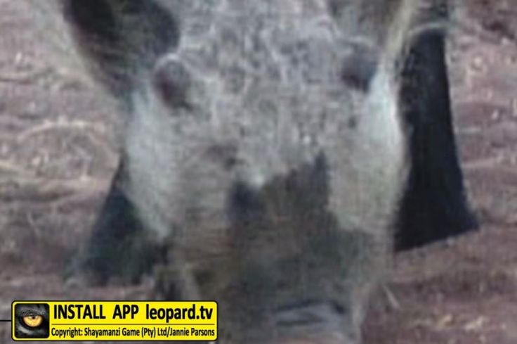 Do you know what animal this is? The forehead, the top of the face and the cheeks are pale, while the lower parts of the face and the underparts are black or dark brown. The limbs are black. On the sides of the face along the angle of the jaw there is a thick patch of long, whitish to yellowish hair which may extend forward along the jaw.  Where these animals occur more north in Africa they have almost white faces which look like masks. Can you now guess what animal this is? Click to find…
