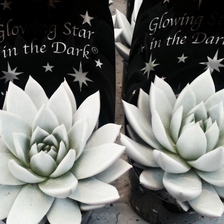 Rosetblomst, Echeveria, behandlet med et farvestof, som lyser i mørket. Farven forvinder med tiden, og derefter kan du nyde planten som den er. #glowingstar #glowinthedark #glowingplant #echeveria #rosetblomst #funnyhouseplant #easyhouseplant #indoorplant #stueplante #plantorama