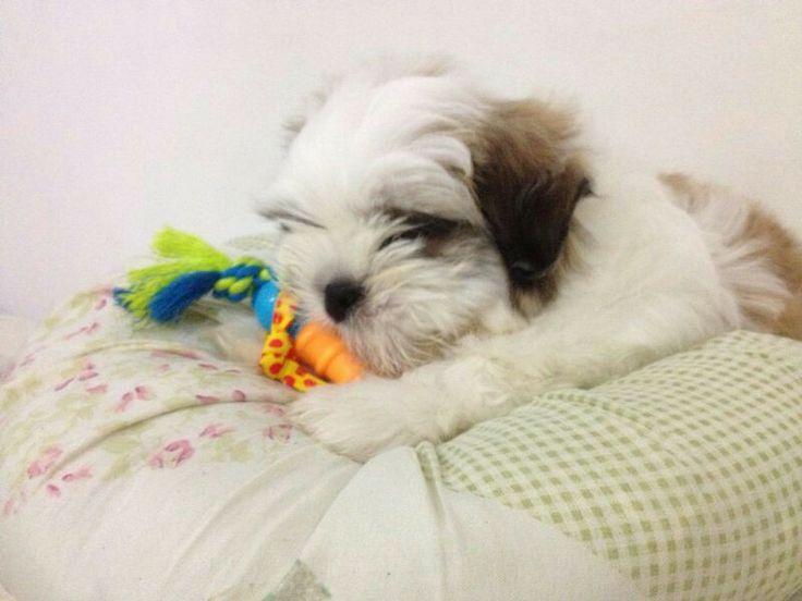 Jacob...Shithzu puppy...2 month