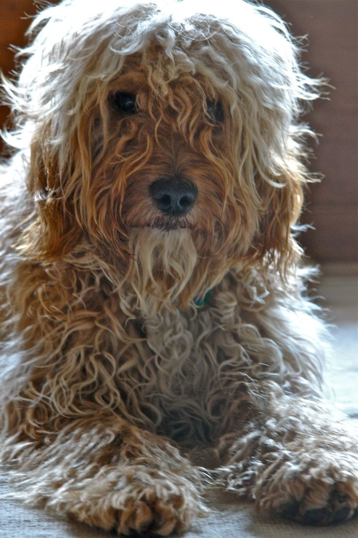 Unclipped Poodle Images Yahoo Search Results Yahoo Image Search