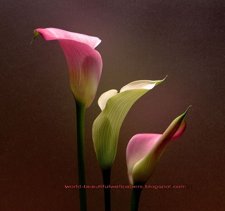 calla lily flowers pictures bing images