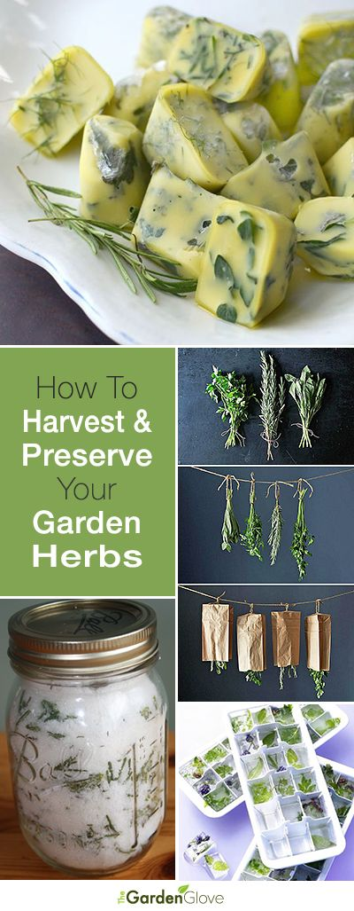How To Harvest and Preserve Your Garden Herbs • Great tips and tutorials! http://www.thegardenglove.com/how-to-harvest-and-preserve-your-garden-herbs/