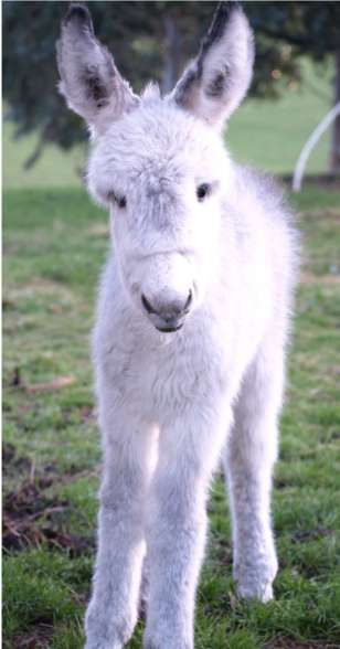 """Wilhelmenia Winkie (Name pending)  Southland. Foaled September 16, 2010. Courtesy: The Donkey & Mule Society of New Zealand (Inc.). Winton (New Zealand)."""