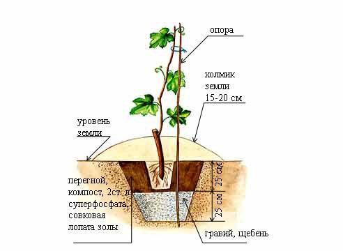 Виноград, схема посадки саженца