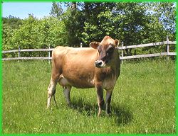 Miniature Jersey Cows! I didn't know they existed! they are tiny cows that you can have around 3 per acre and give you up to around 3 gallons of milk a day! Great for a small farm! Also great for getting plant fertilizer.