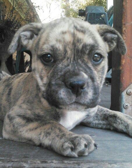 Reverse Brindle Pitbull Puppy Things I Love Pinterest