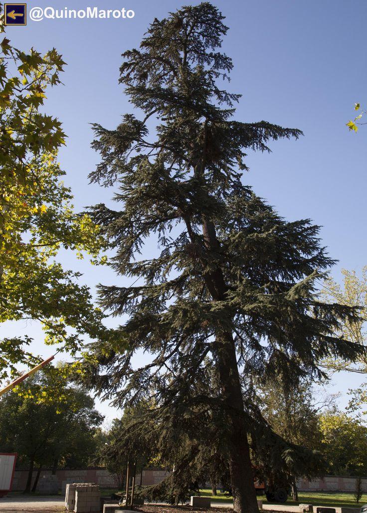 Cedro del Himalaya - Árboles Singulares de la Casa de Campo de Madrid.