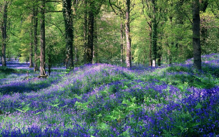 Bluebells, The Royal Forest of Dean, Gloucestershire, England