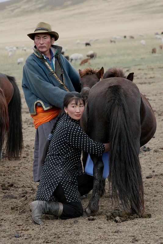 Milking the horse, Central Mongolia. In Mongolia horses, goats and yaks are milked.