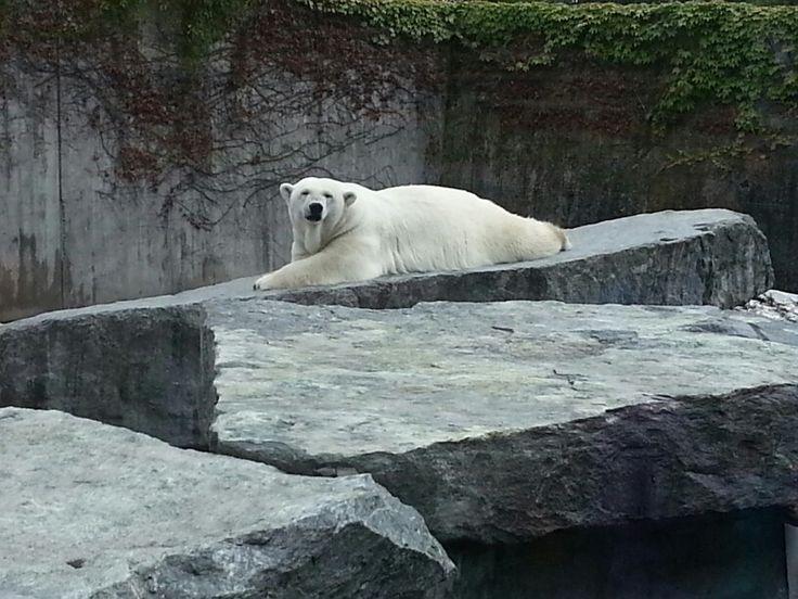 Eisbär döst in der Stuttgarter Wilhelma