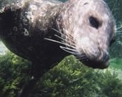 Snorkeling with the seals - This will be the highlight of your Vancouver Island experience!