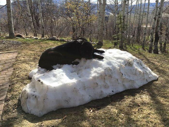 #интересное  Собака, которая очень любит снег (8 фото)   Этот черный лабрадор очень любил лежать на куче снега во дворе своего дома. Однако с приходом весны снег стал таять, и с каждым днем его становилось все меньше и меньше. Трогательные кадры, на которых видно, к�