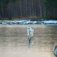 фото сибирские хаски на озере