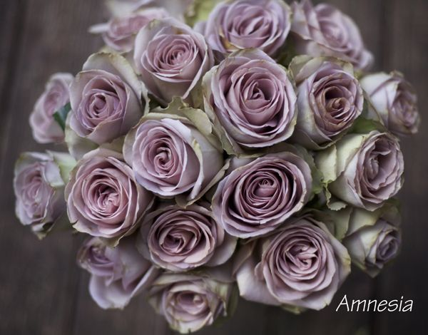 Amnesia Rose, a Lavender rose by http://www.harvestwholesale.com