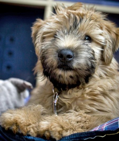 Bruce the Soft-Coated Wheaten Terrier