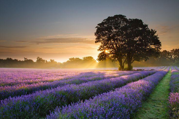 lavendel 1 10 Prachtige Fotos van Lavendelvelden