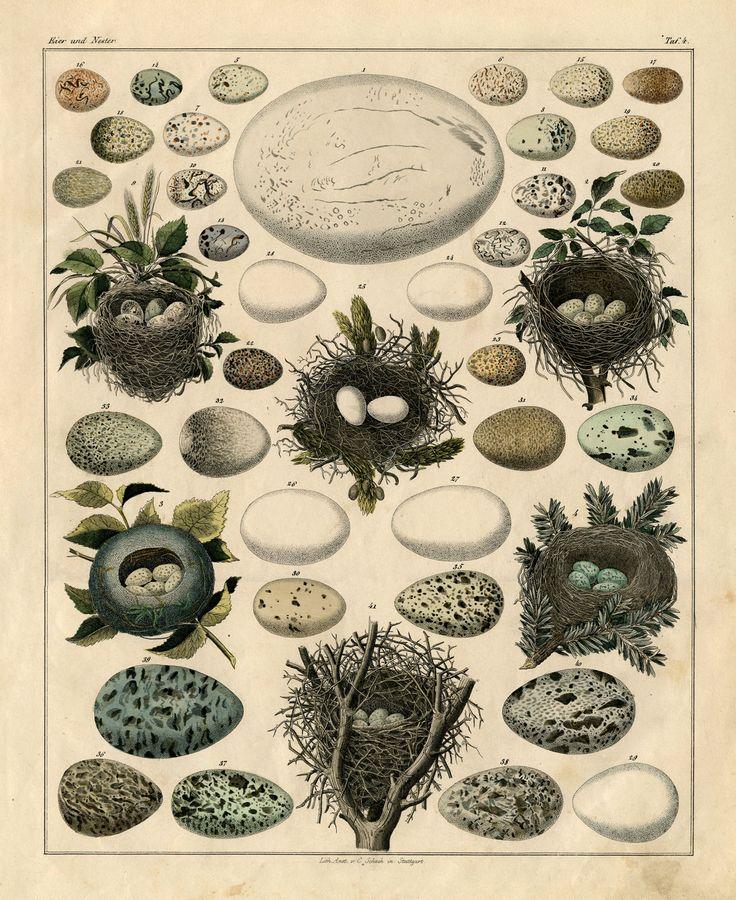 nest and egss: Instant Art, Birds Eggs, Birds Nests, Vintage Prints, Clip Art, Fairies Llc, Free Printable, Graphics Fairies, Eggs Prints