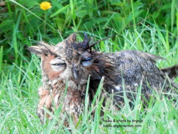 Haiku by Angelo: Owl - a nature haiku