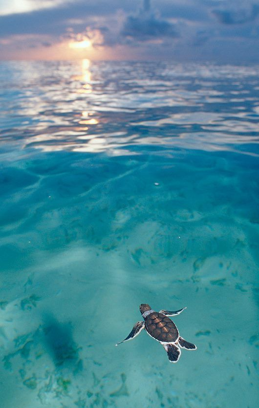 Sea turtle out for a swim natures beauty