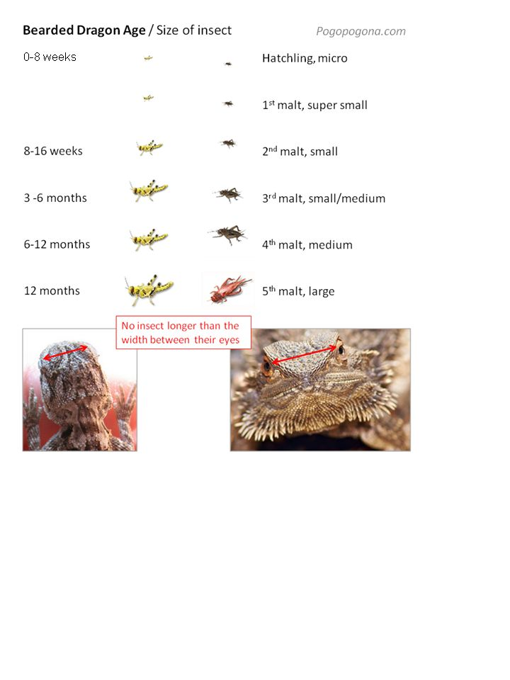 How To Feed A Bearded Dragon | Feeding a Bearded Dragon ...