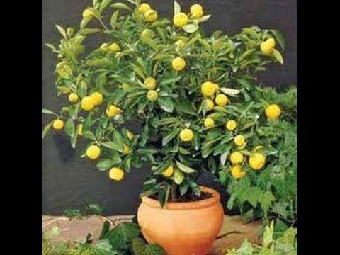 Limon çekirdeği çimlendirme (basit)