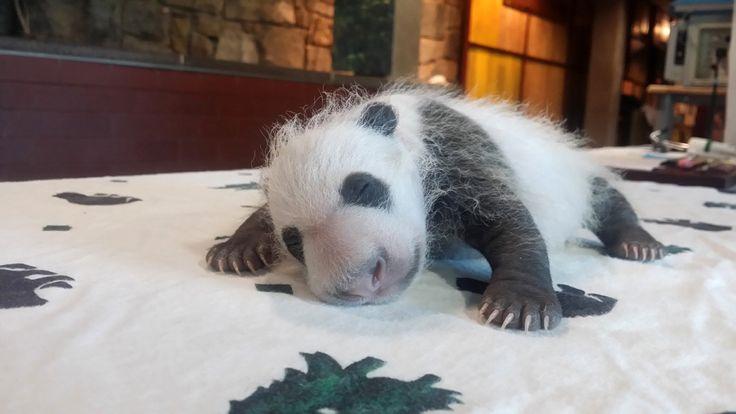 Filhote de panda gigante em zoológico de Washington, que nasceu no final de agosto
