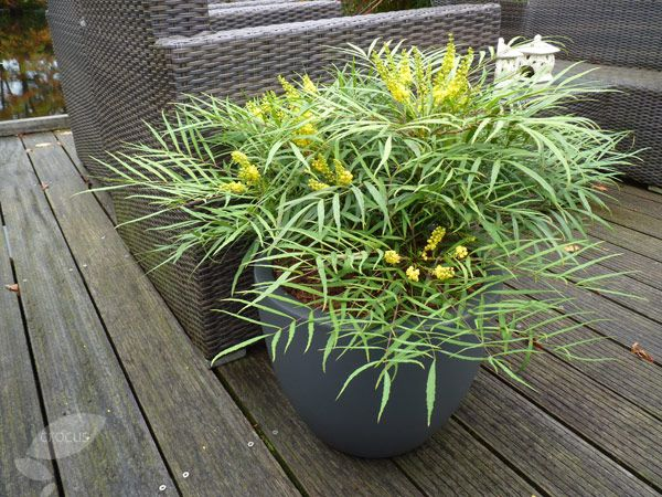 by the front door. Buy mahonia Soft Caress Mahonia eurybracteata 'subsp. ganpinensis Soft Caress': Delivery by Crocus